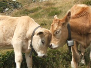Two_cows